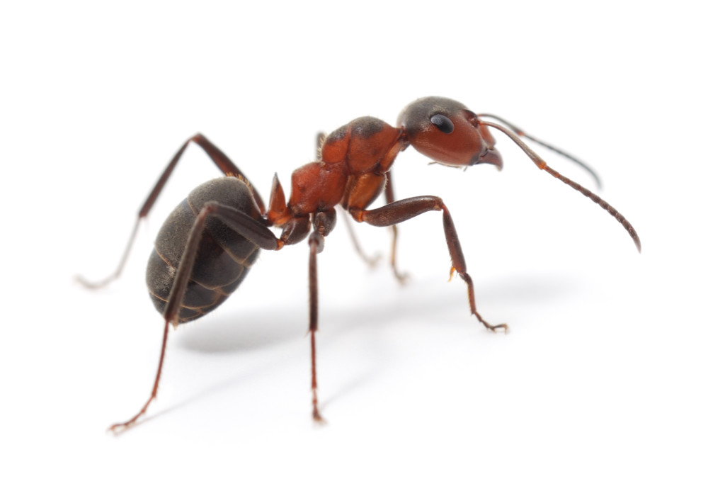 Ameisenbekämpfung Frankfurt